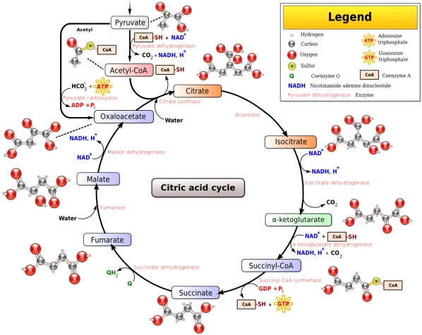 citric_acid_cycle_noi